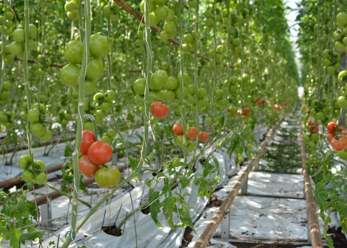 Greenhouse or Field, Growers Overcome Weather to Meet Demand