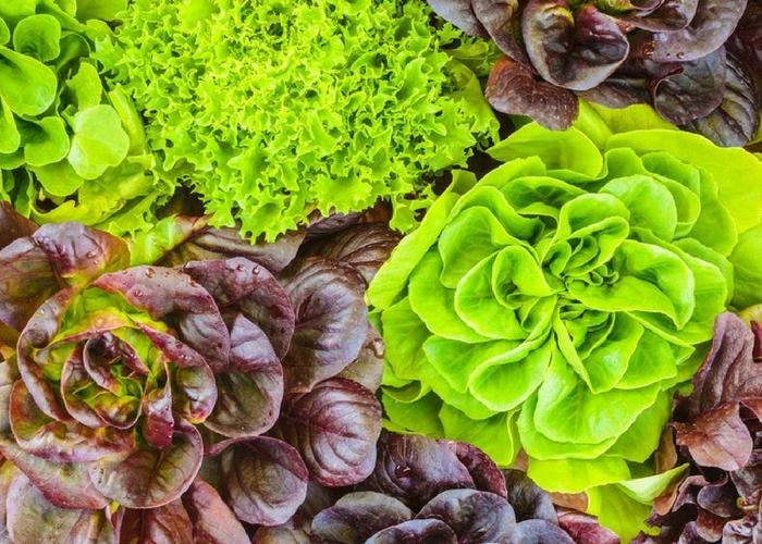 Ashley's Better Bites: Organic Lettuce