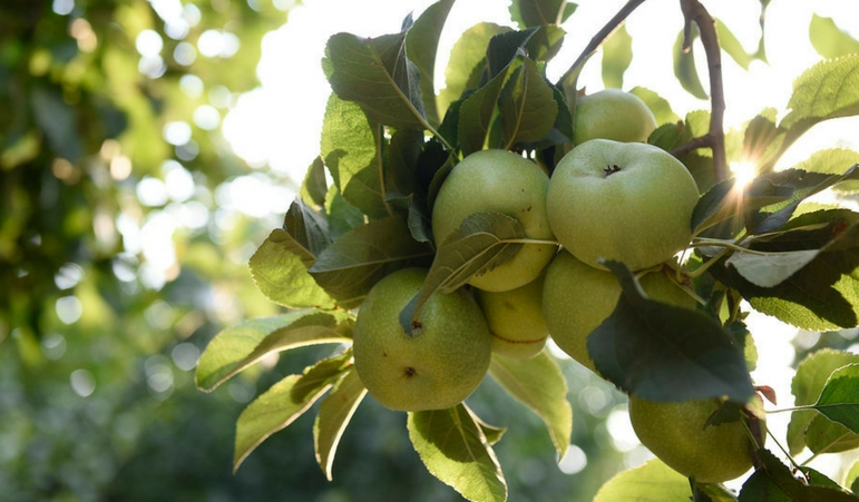 Promotion Opportunities Expected for Organic Apples