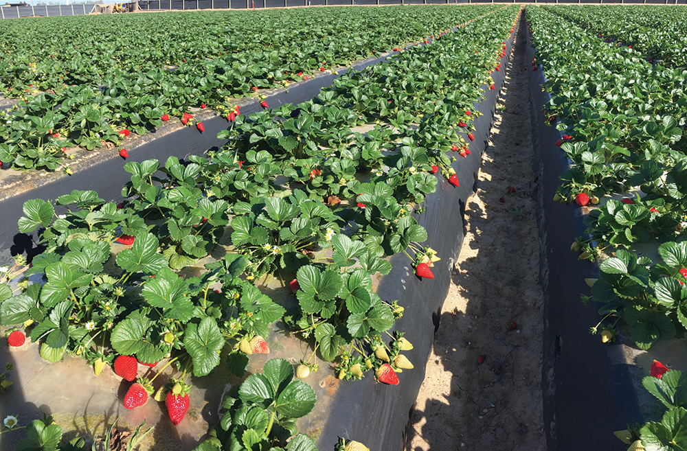 Organic Strawberries Gain Market Share
