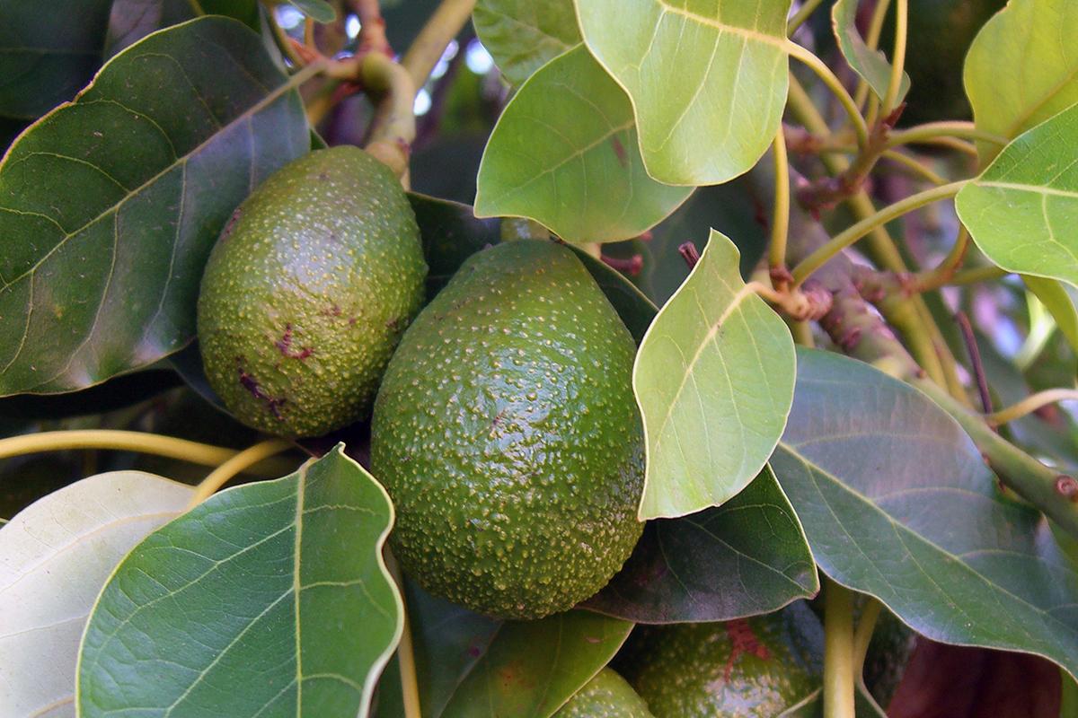 Organic Avocado Prices Soar